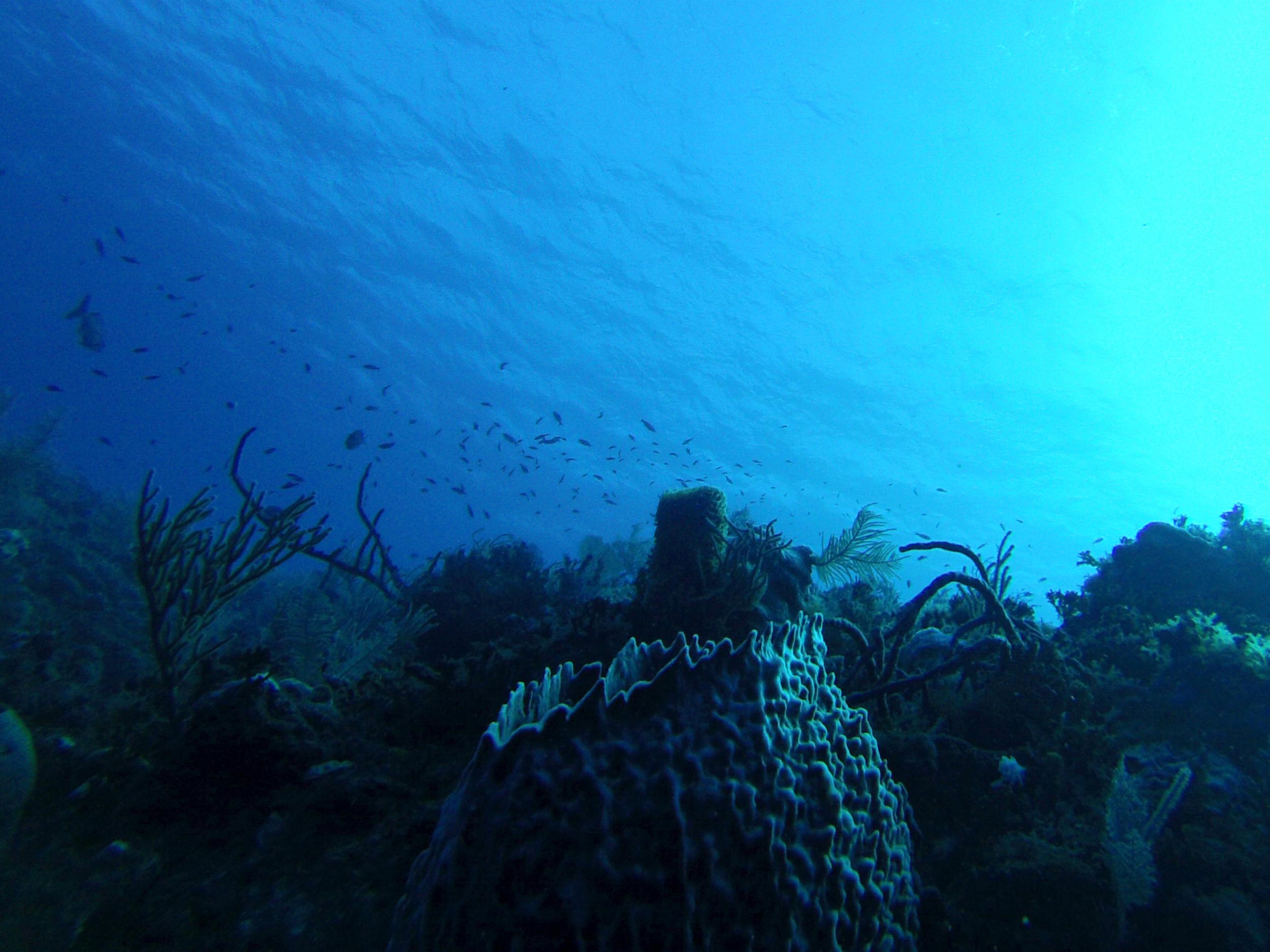 sponge   (GoPro Hero3,New England Aquarium Fall Collecting Trip; Bimini, Bahamas 2015)