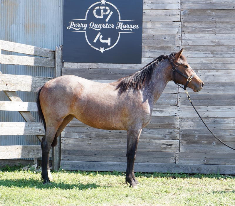 SOLD!!! 2015 Bay Roan Filly - Stella - For more info, click the picture.
