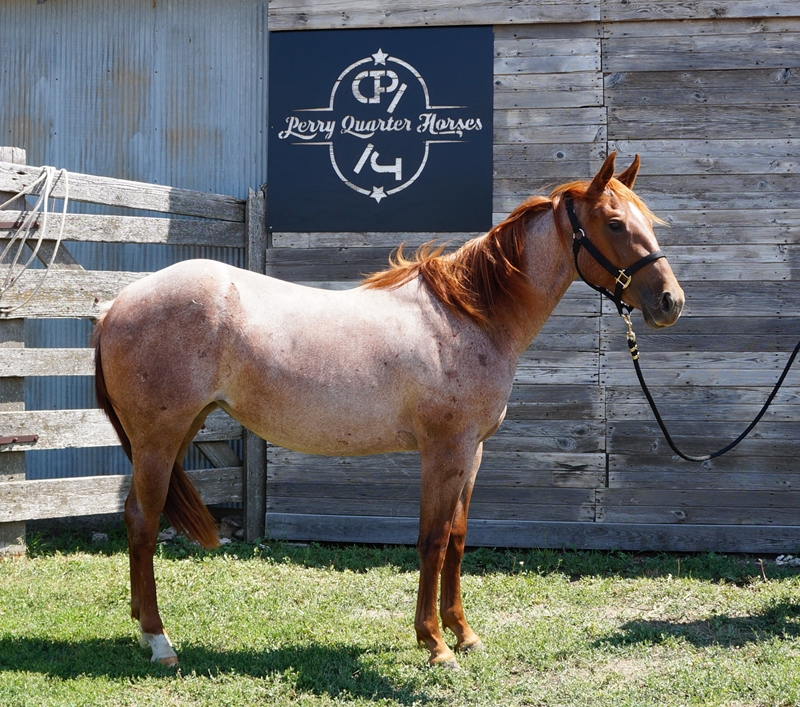 SOLD!!! 2015 Red Roan Filly - Sunshine - Click on picture for more info