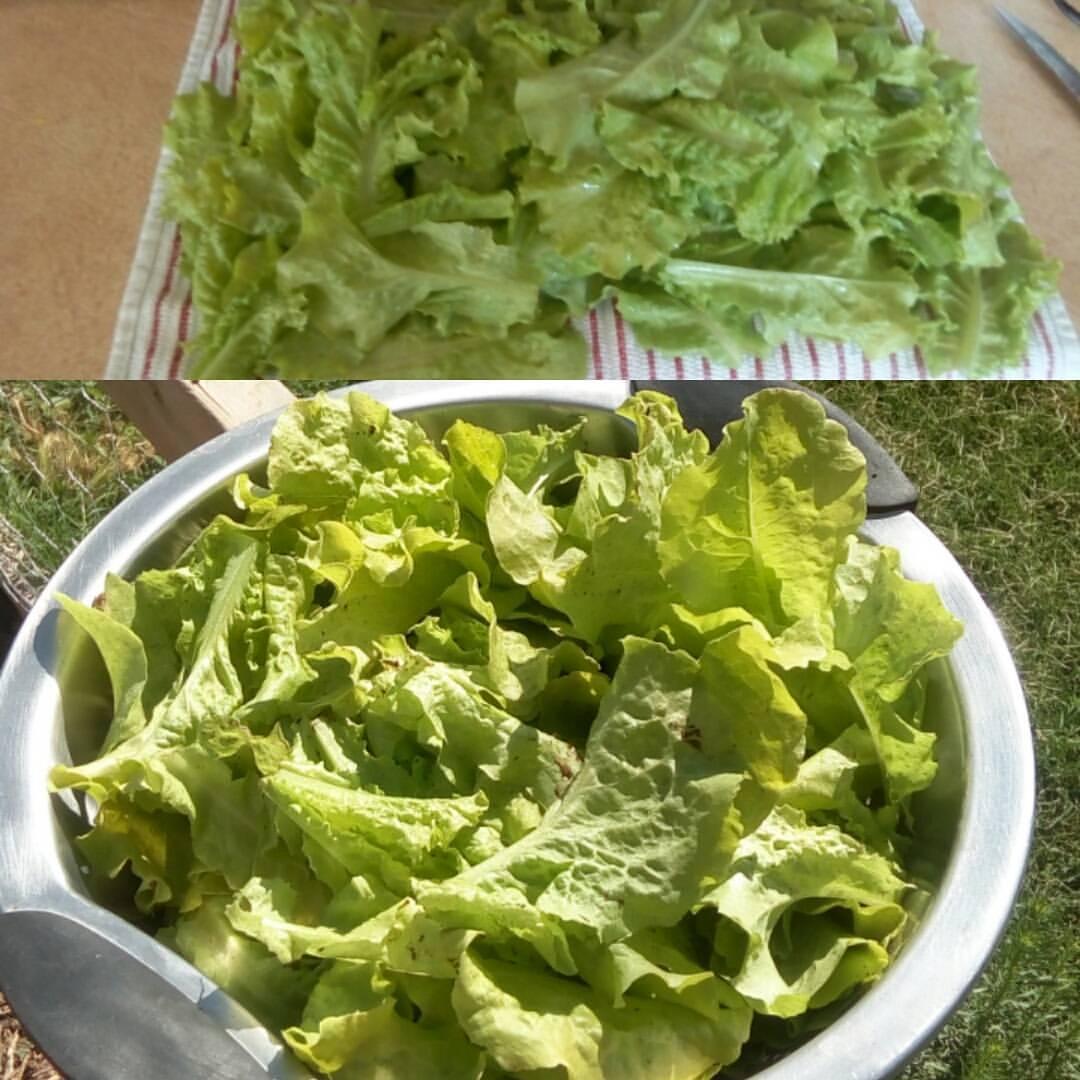 First Lettuce Harvest!