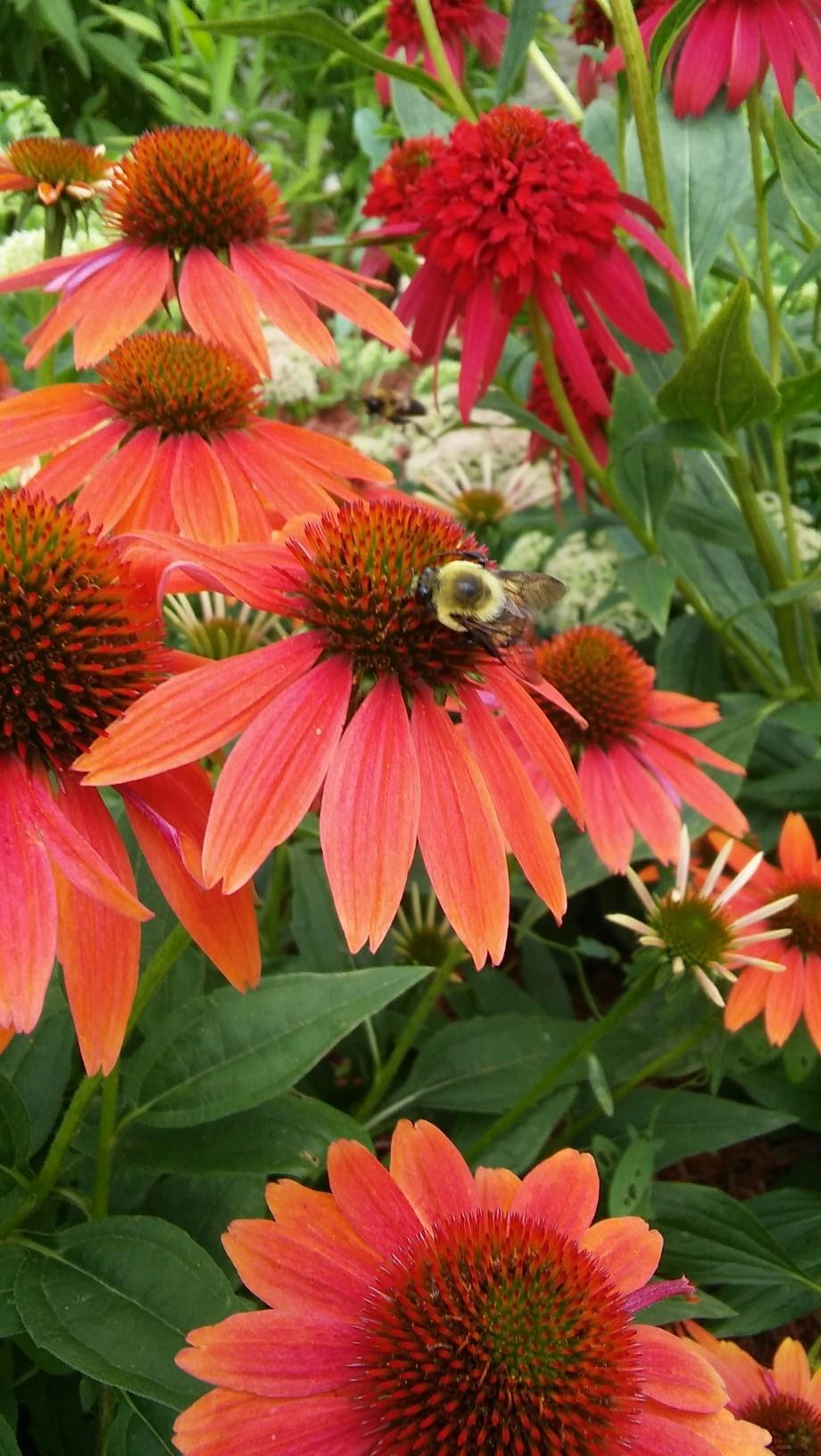 bee on red conflower closeup.jpg