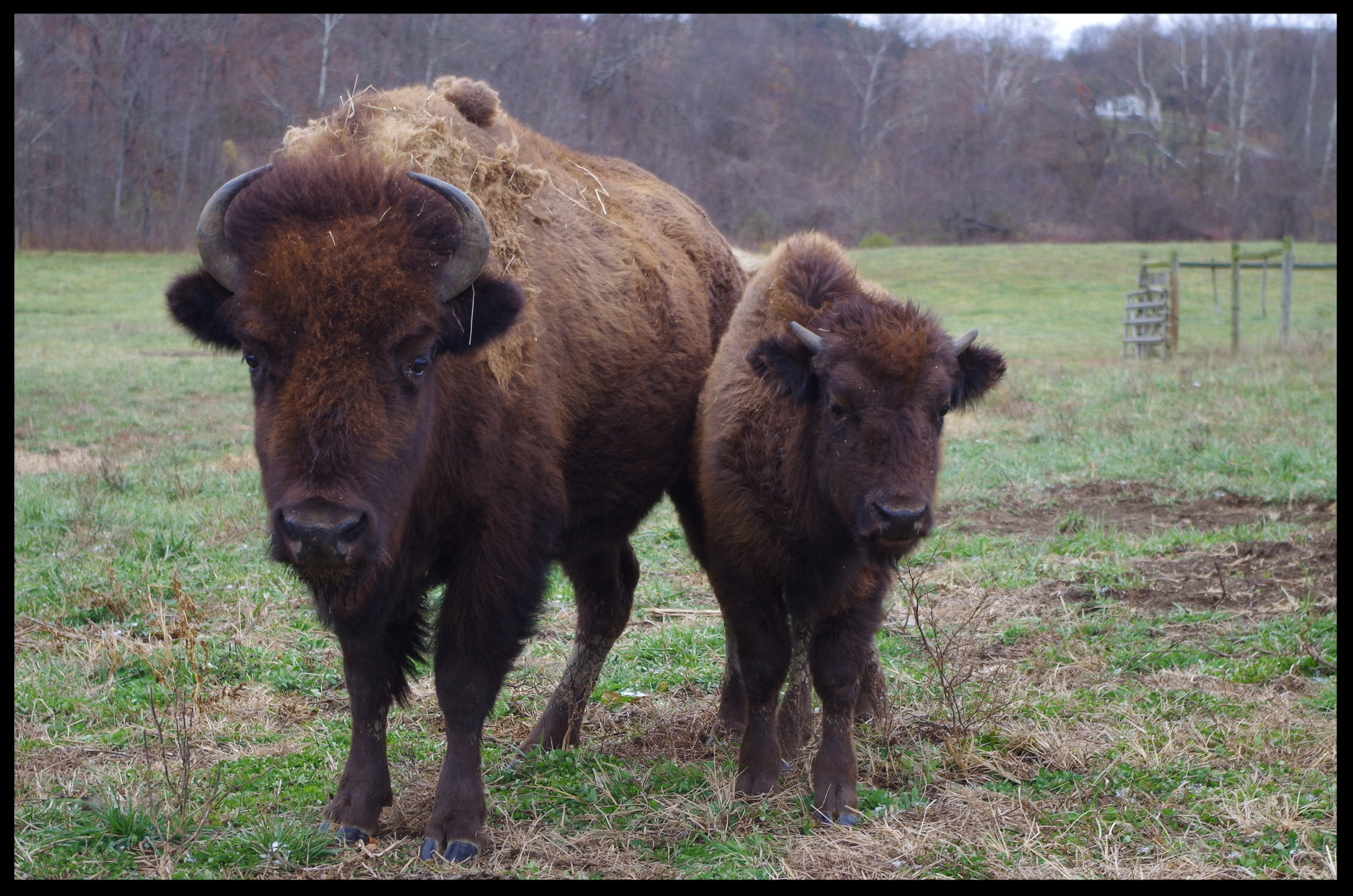 Mother Bison and Baby 2.JPG