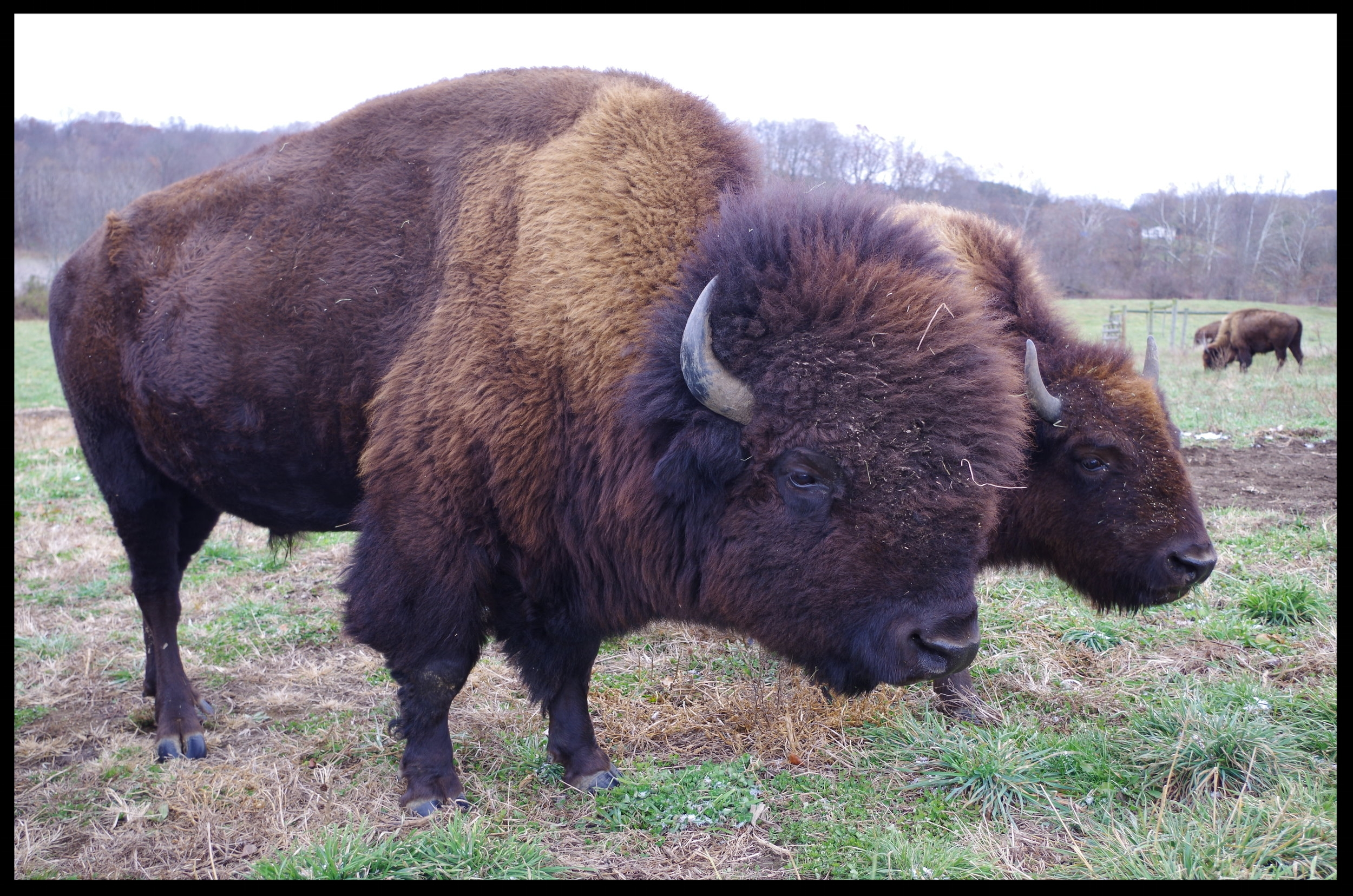 Two Bison standing in the field.JPG