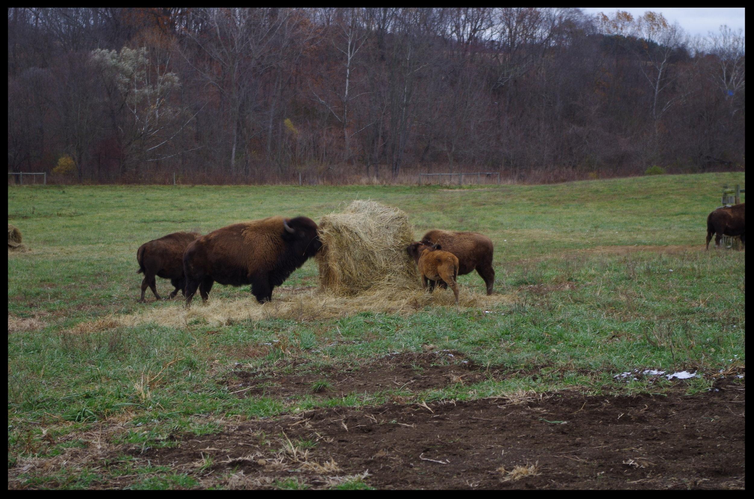 Bison feeding in the field 3.JPG