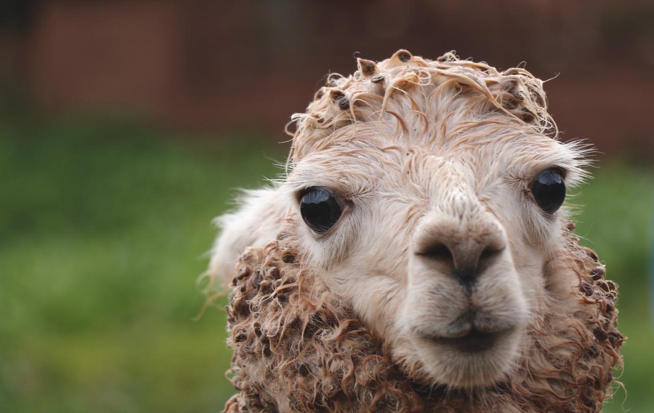 a recently sheared alpaca