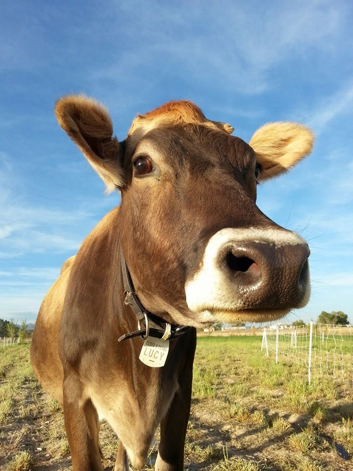 Lucy, the Cloud 9 Farms Brown Swiss Cow