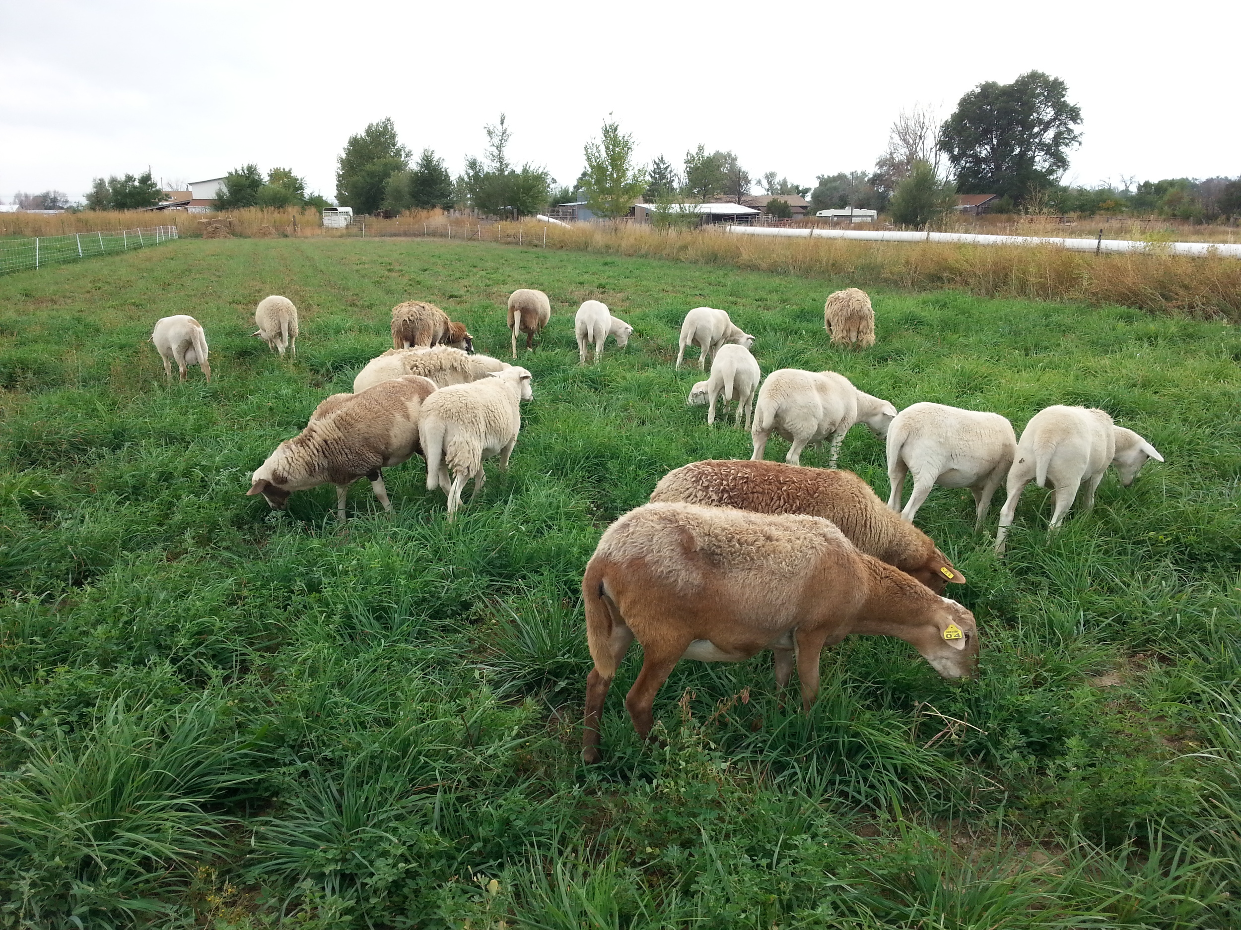 Our Katahdin & Royal White hair sheep flock