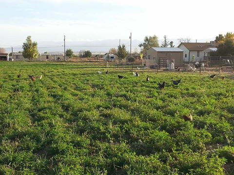 Happy, Free-Ranging Chickens