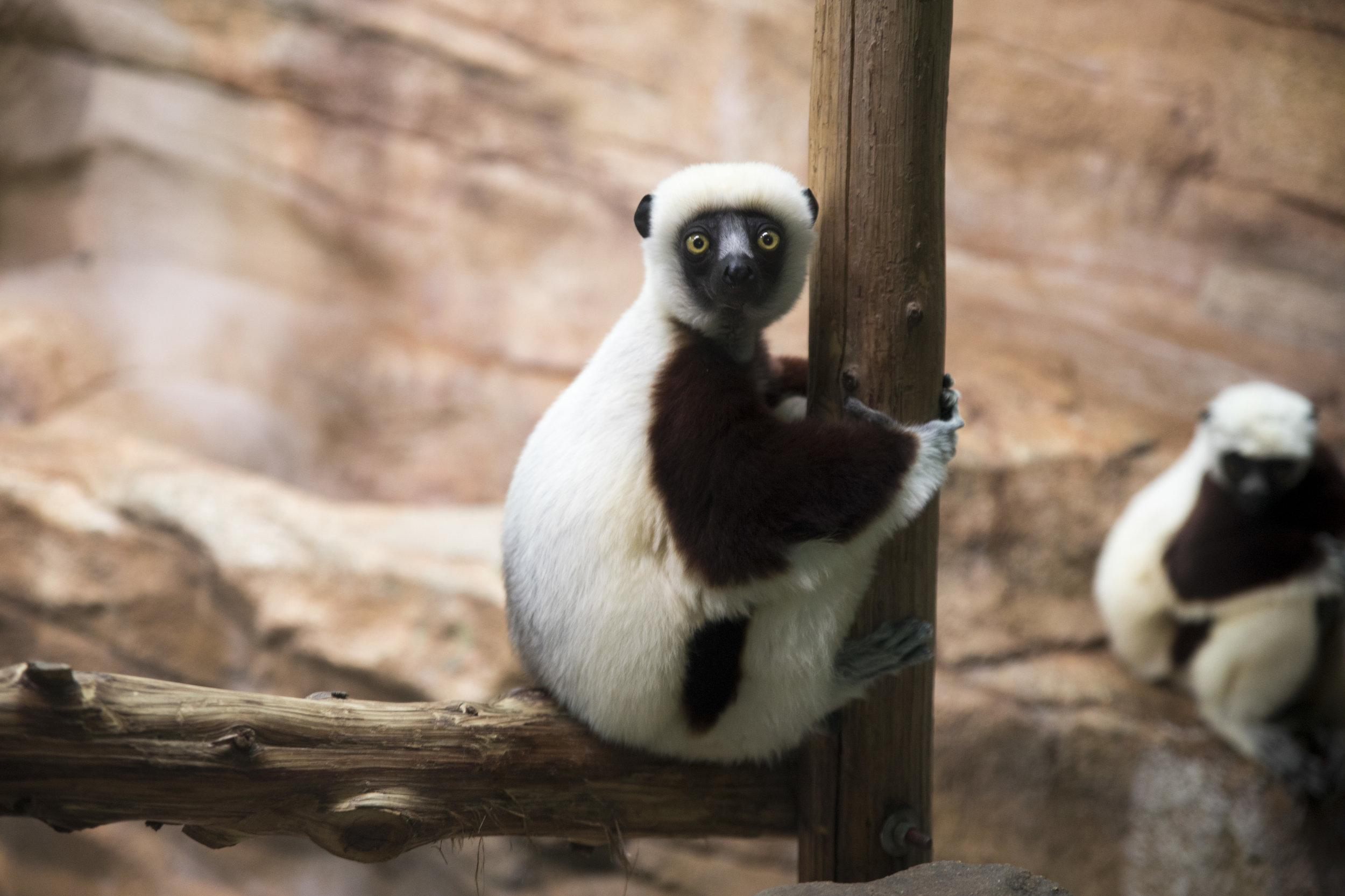 Saint_Louis_Zoo_Photography_Lemur.jpg