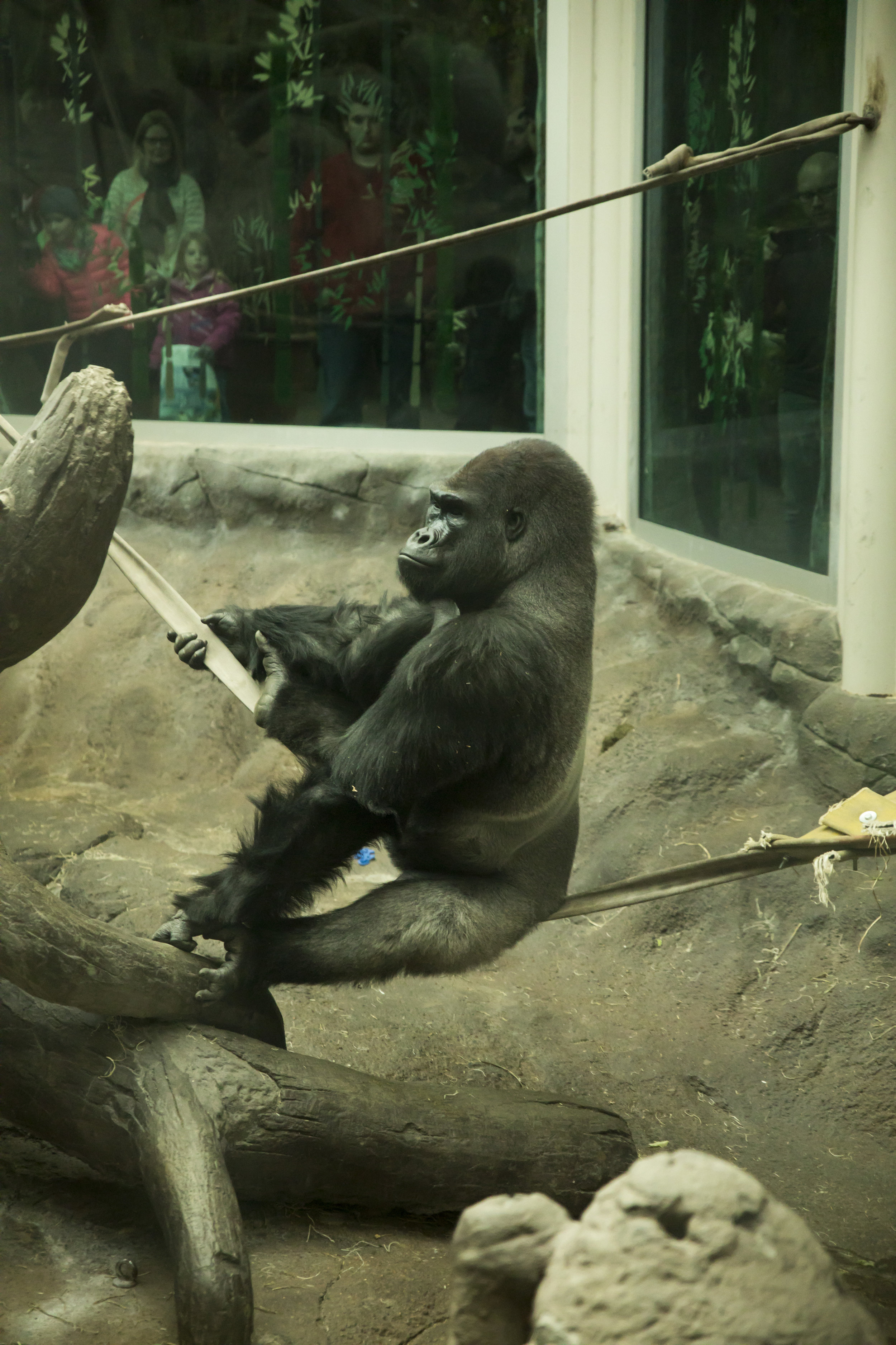 Saint_Louis_Zoo_Photographer_Gorilla.jpg