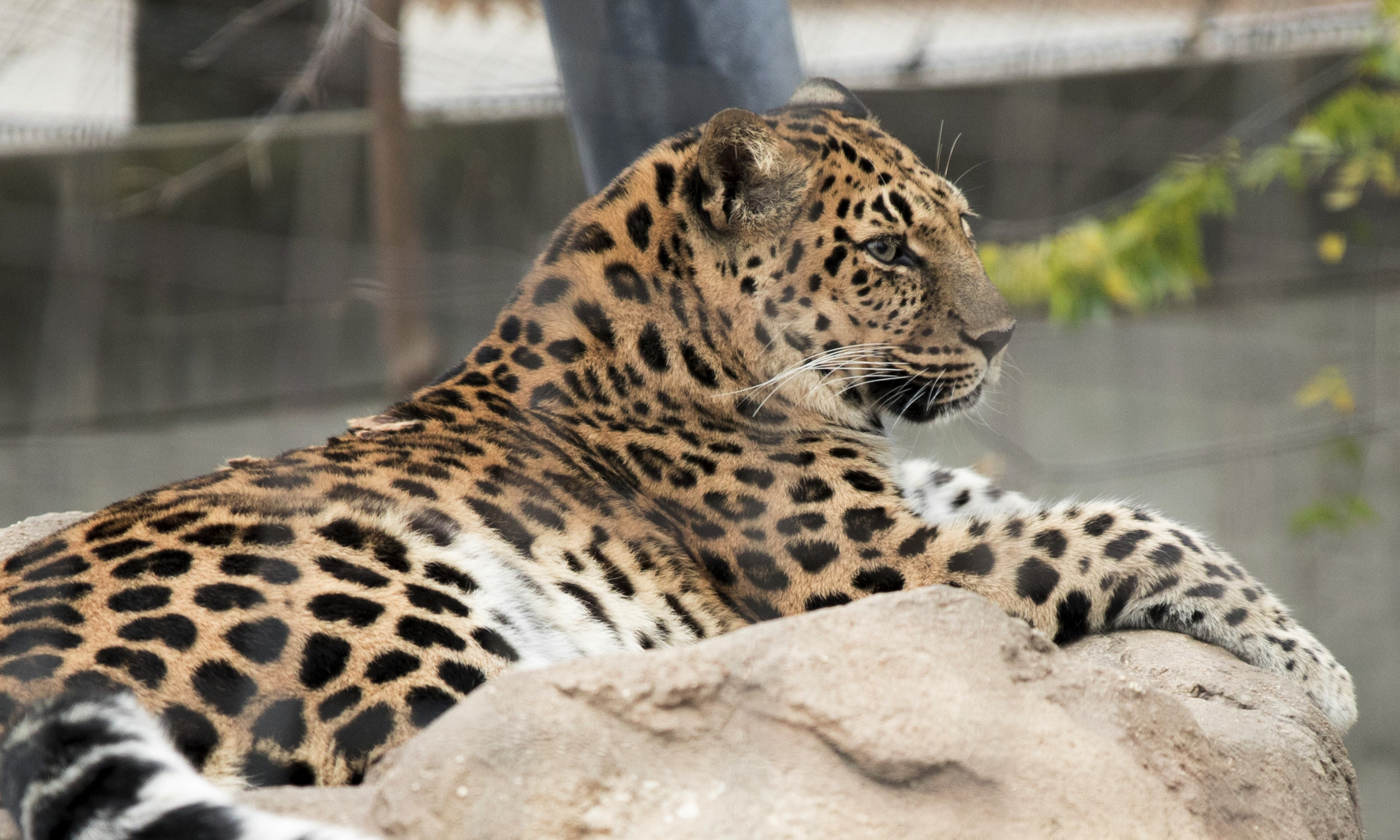 Saint_Louis_Zoo_Photography_Cat.jpg