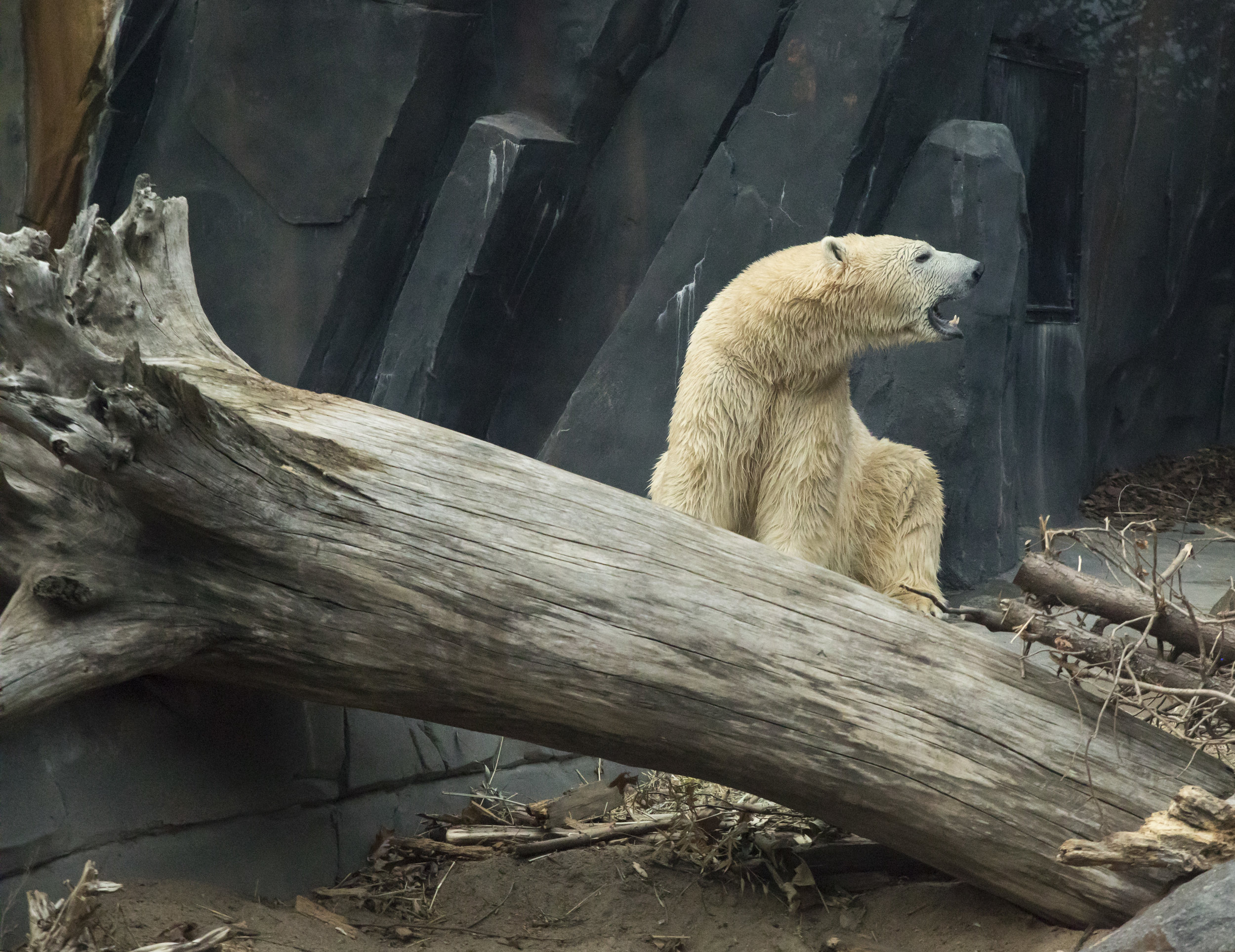 Saint_Louis_Zoo_Photographer_Polar_Bear.jpg