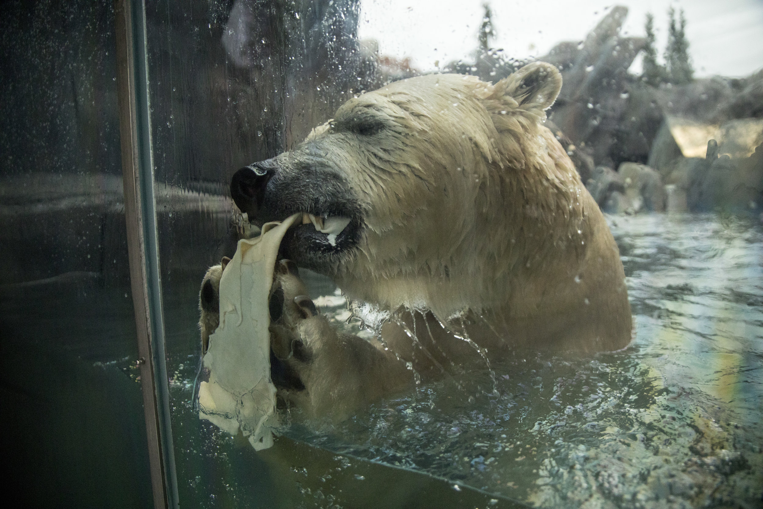 Saint_Louis_Zoo_Photography_Polar_Bear_2.jpg