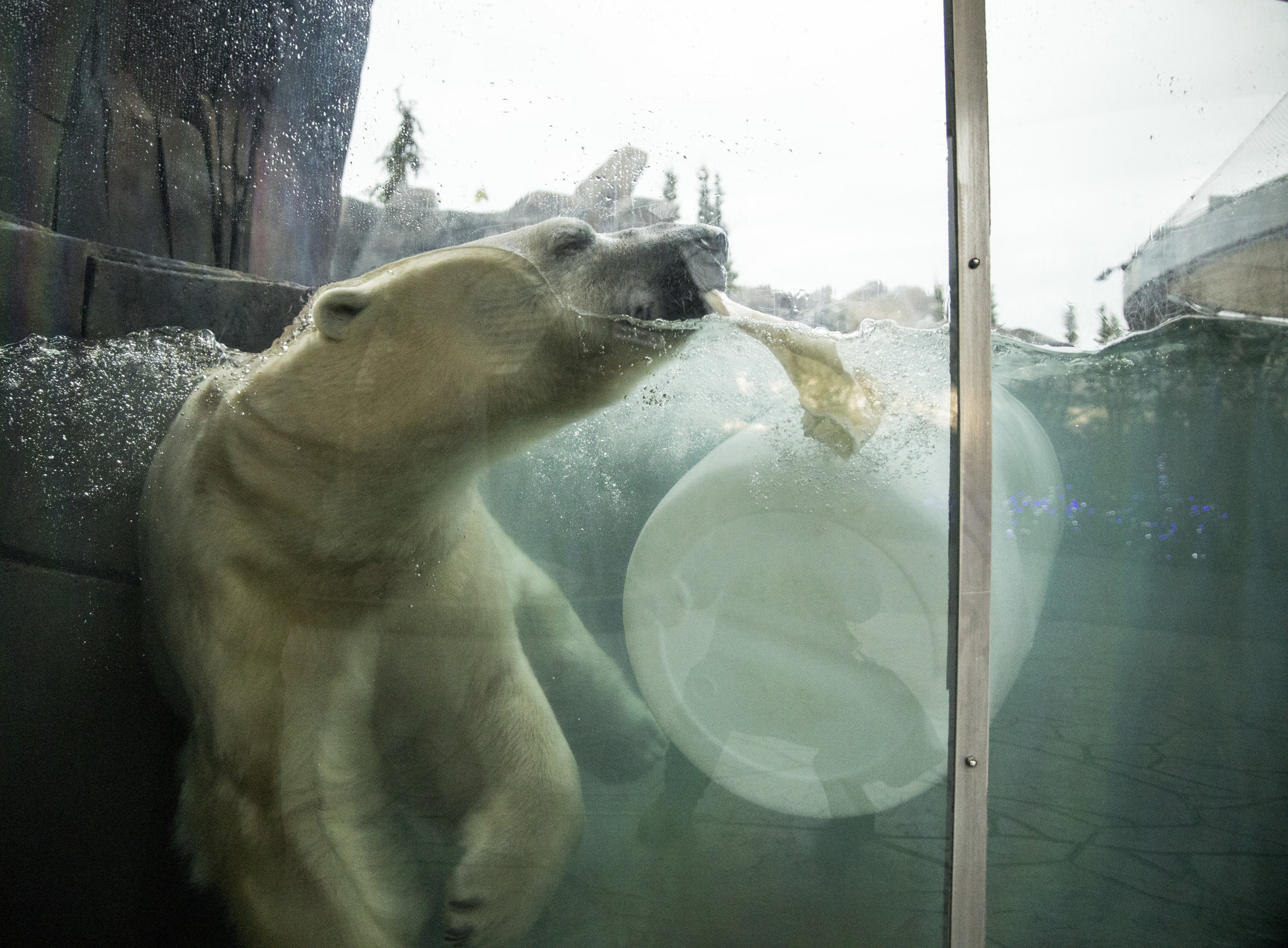 Saint_Louis_Zoo_Polar_Bear.jpg