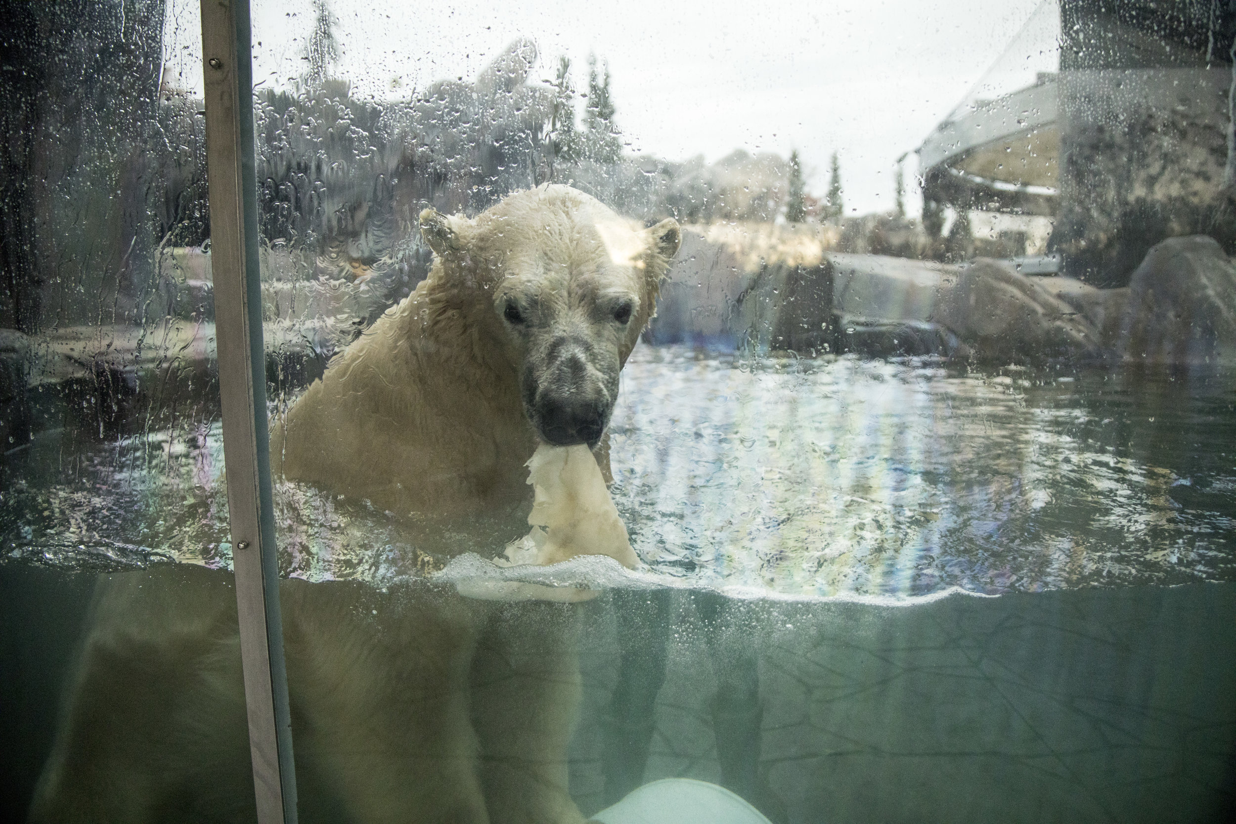 Saint_Louis_Zoo_Polar_Bear_3.jpg