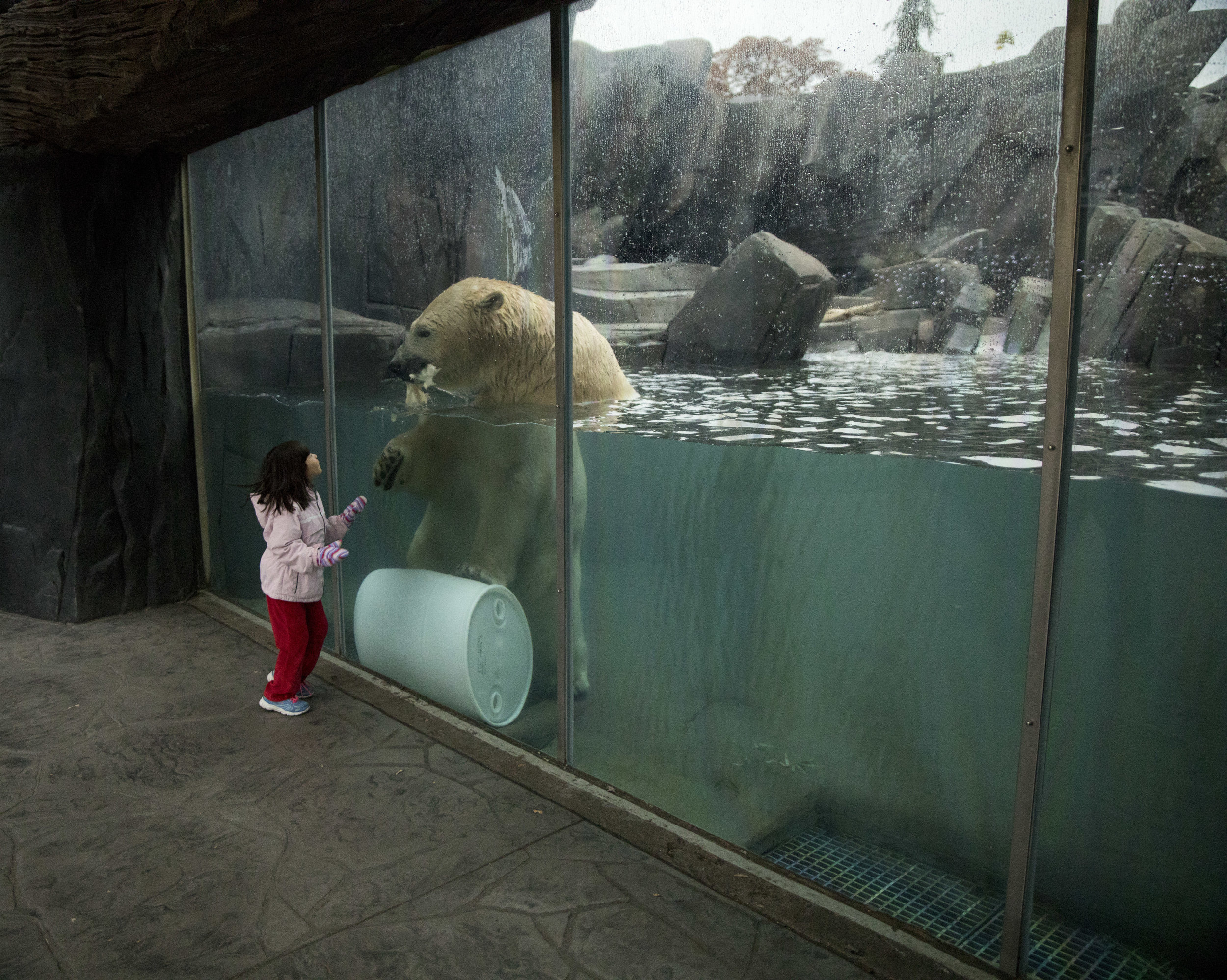 Saint_Louis_Zoo_Photographer_Polar_Bear_in_the_water.jpg