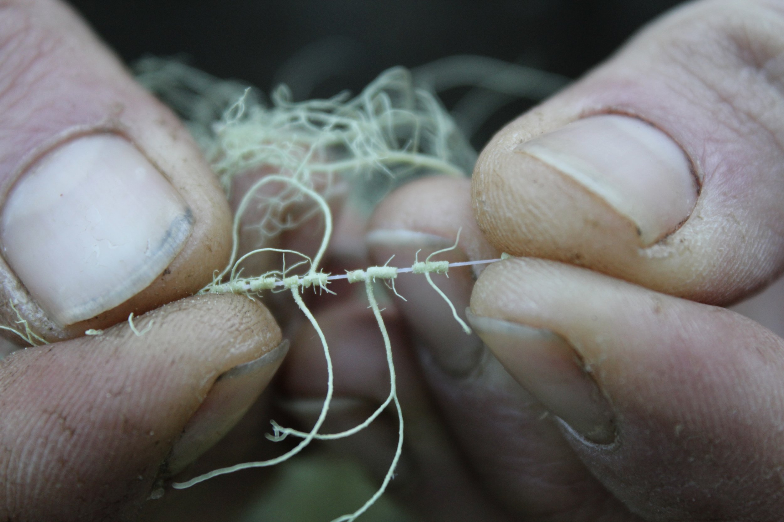 """This is the """"white cord"""" that always appears when you pull the outer sheath of Usnea species."""