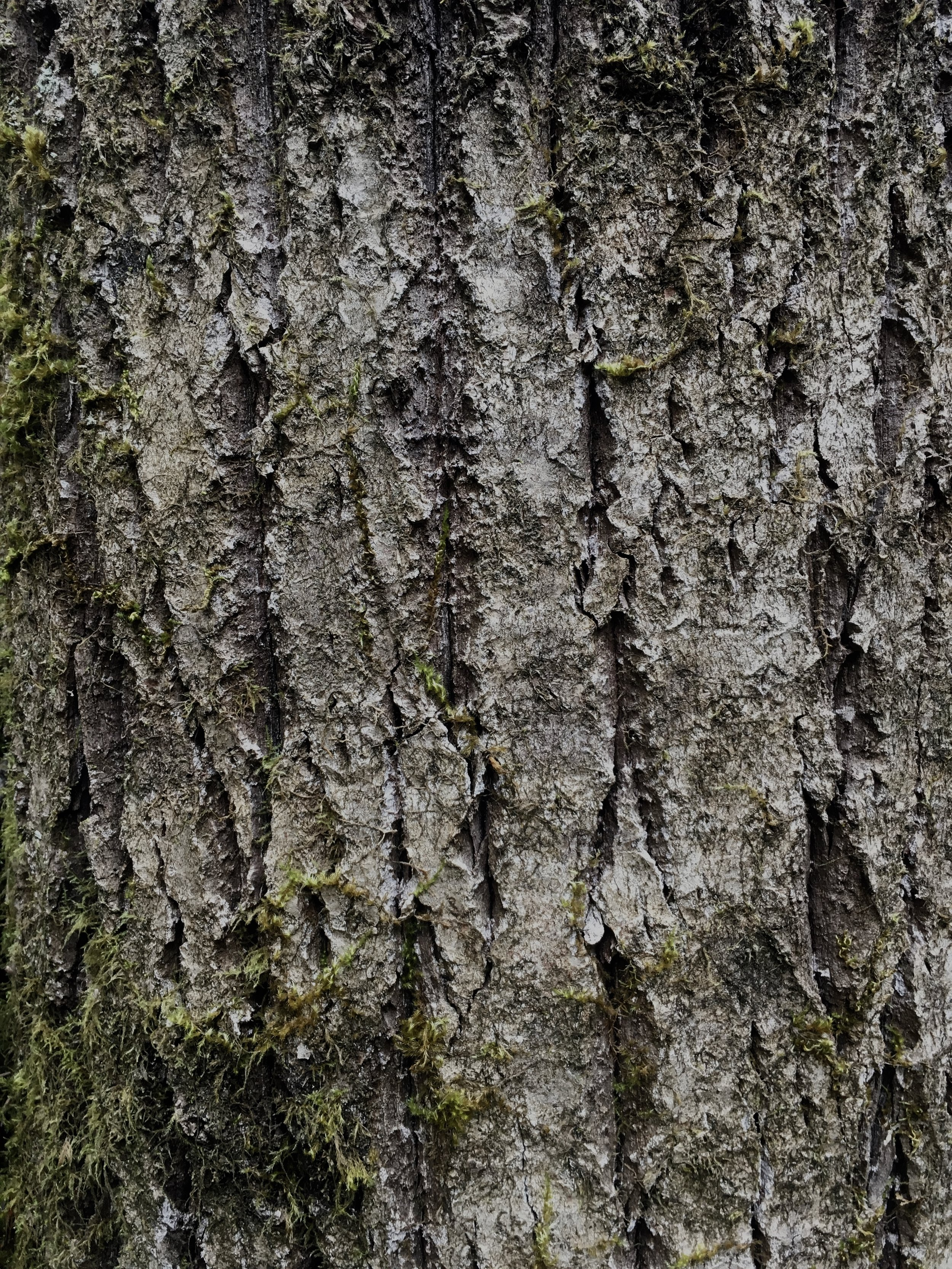 Cottonwood is known for its deep grooves found in the bark of older tree trunks.