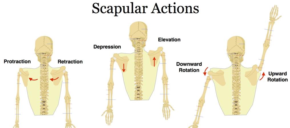scapular actions.jpg