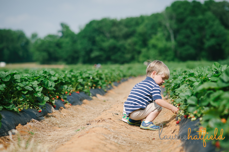 little boy picking strawberries   Huntsville photographer