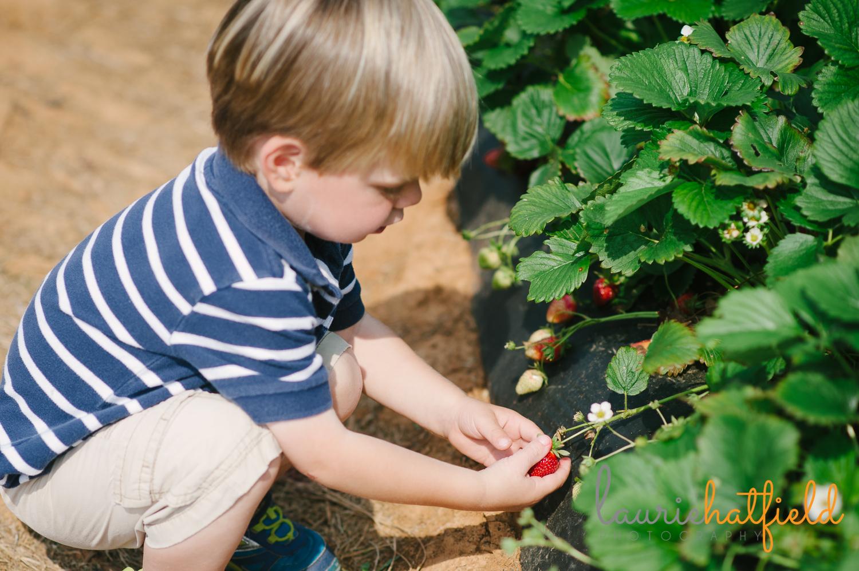 boy picking strawberries   Huntsville family photographer