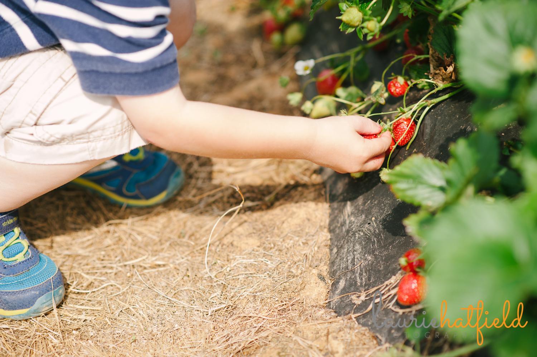 boy picking strawberries   Huntsville photographer