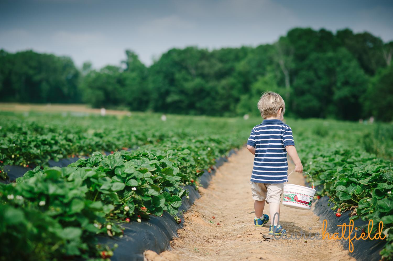 little boy walking in strawberry field   Huntsville family photographer