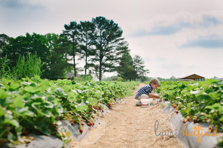 2-year-old boy picking strawberries   Huntsville child photographer