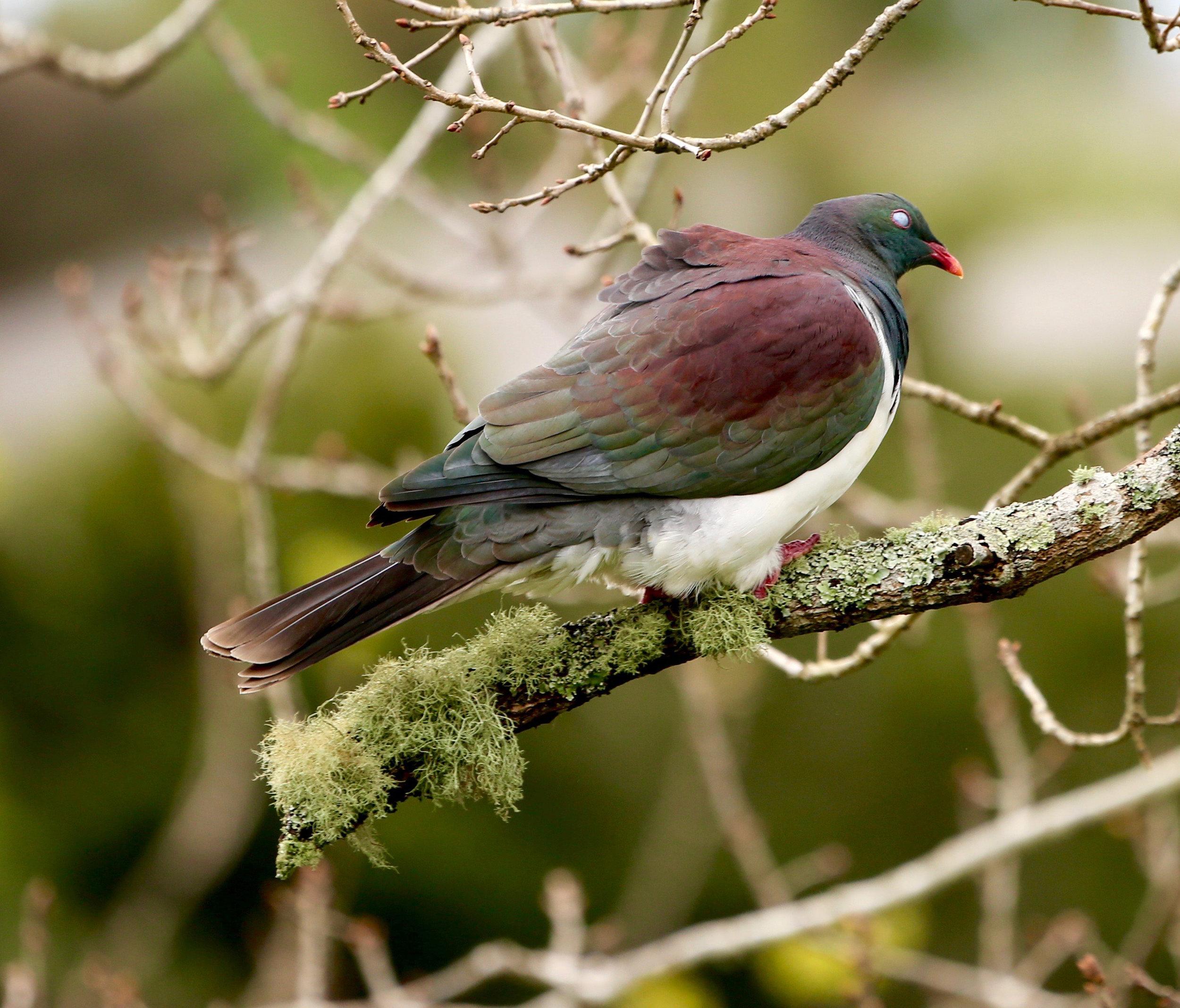 wood-pigeon-on-branch.jpg