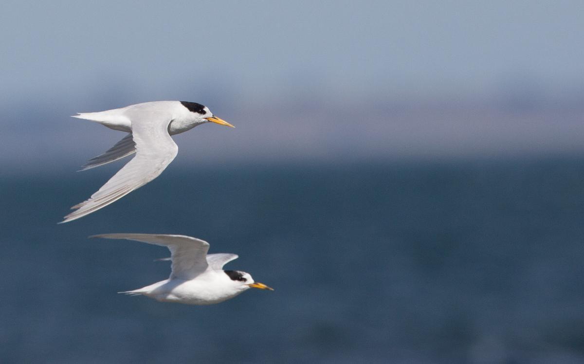 1200445Fairy tern flight-4739.jpg