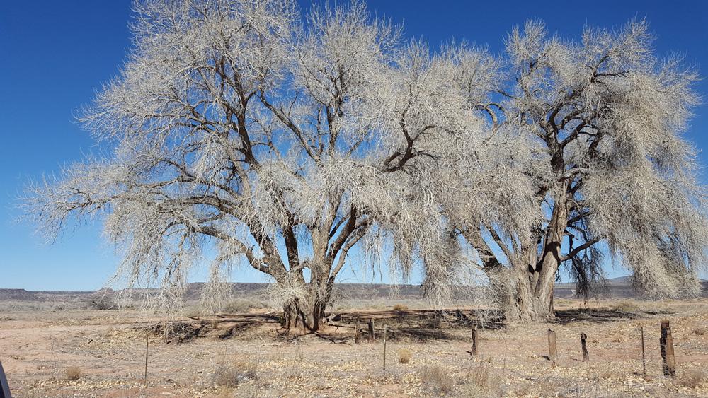 mid-winter cottonwoods, Algodones NM