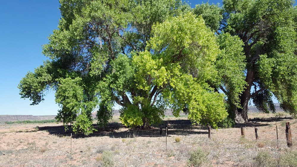 ...those same cottonwoods in Algodones NM - summer now
