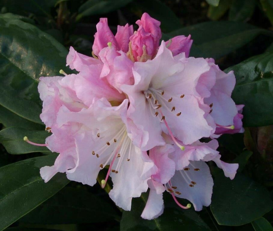 Delicious pink tinted flowers as they first open. On frosty nights protect with frost fleece when the buds have opened.