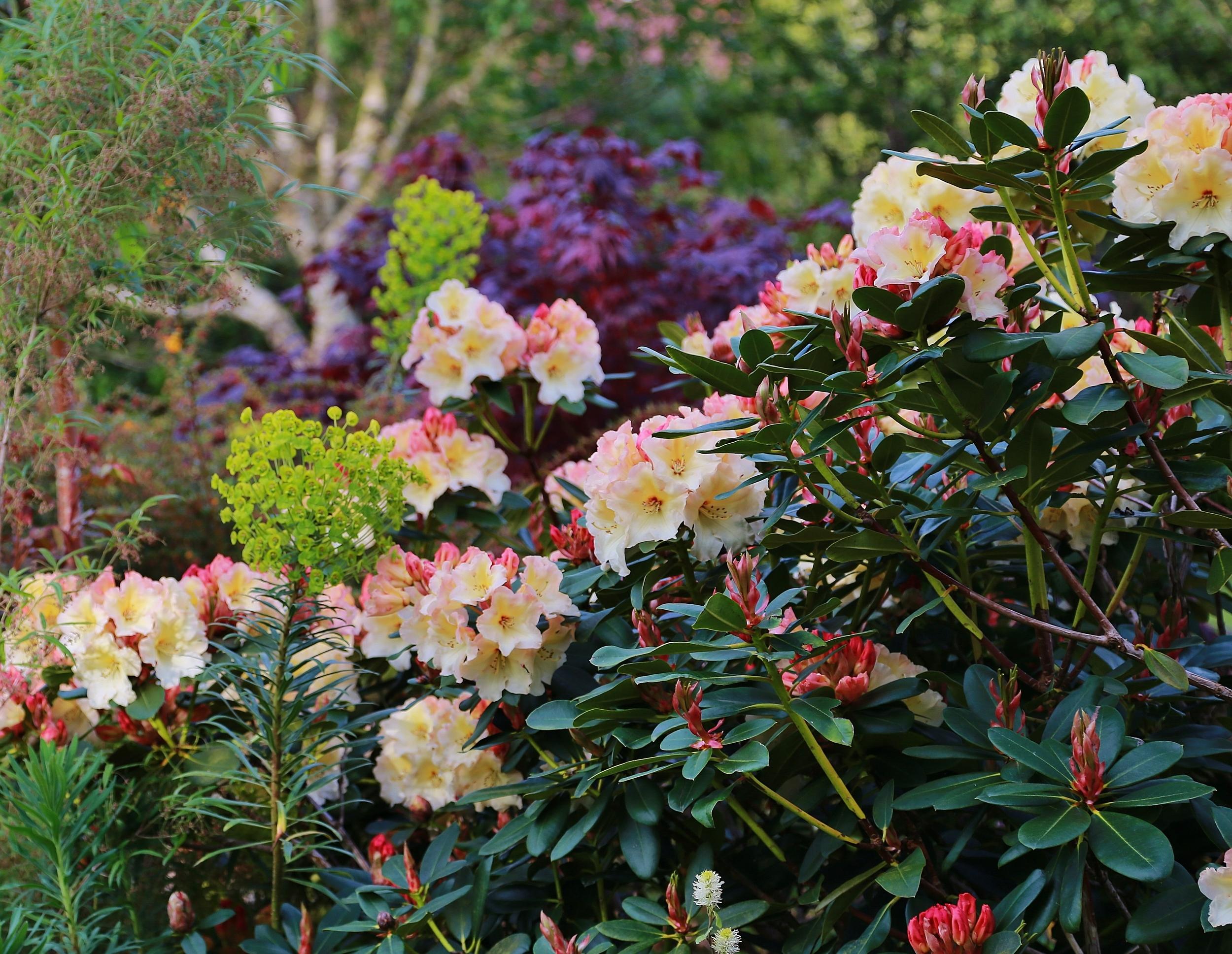 Rhododendron 'Horizon Monarch'.JPG