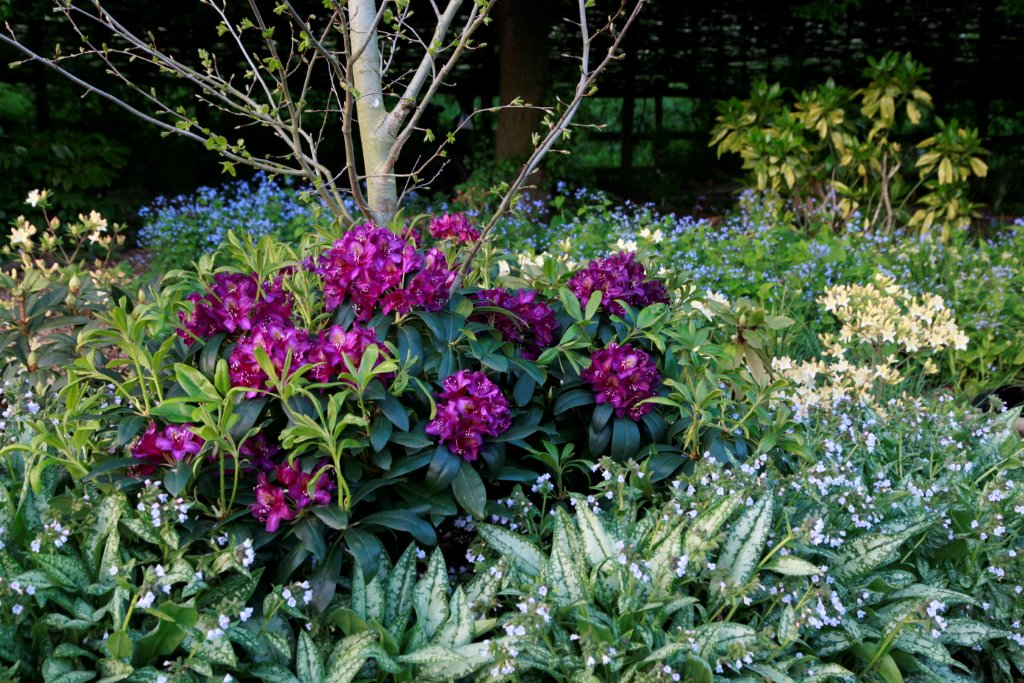 Filtered sunlight is perfect for rhododendrons.