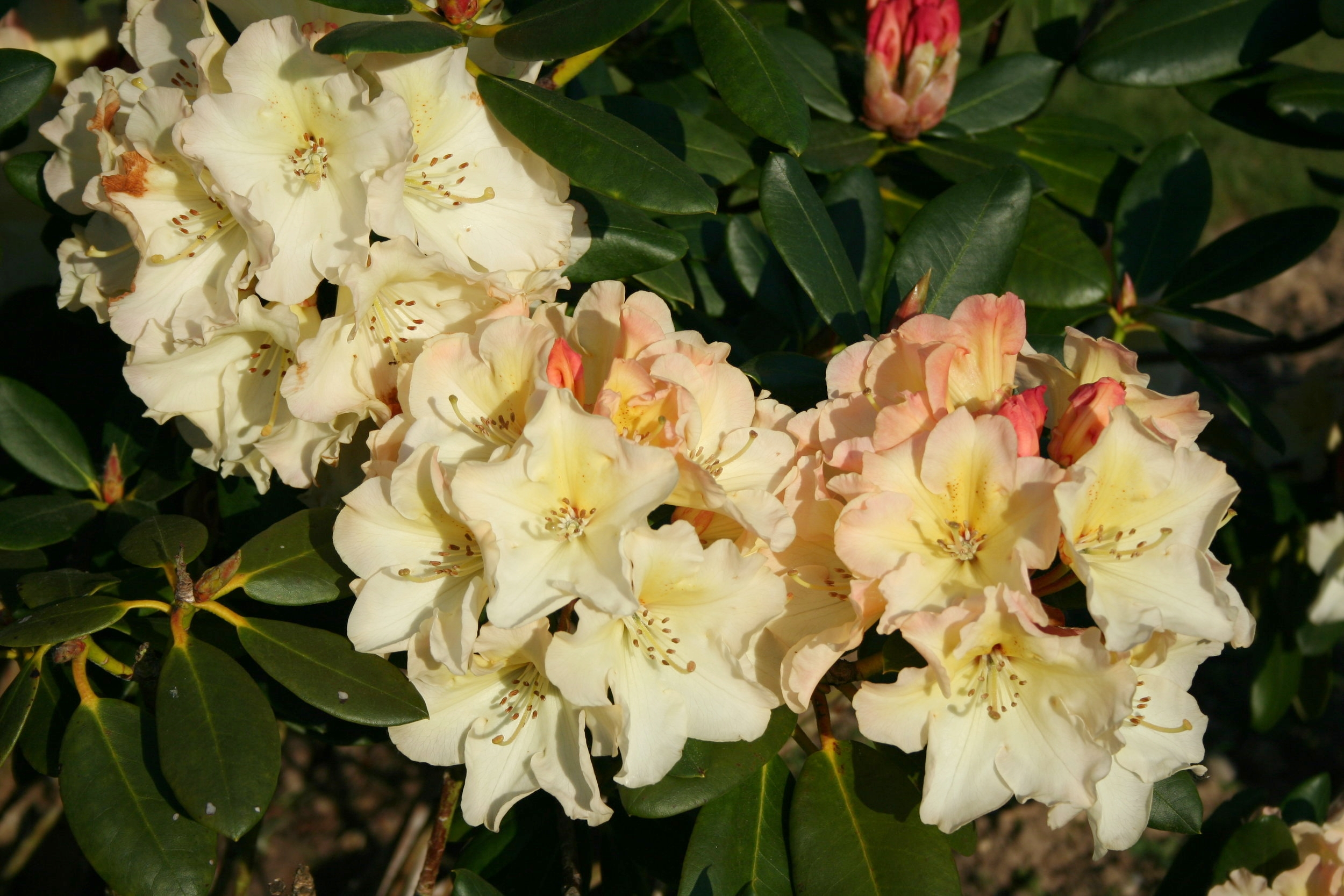 Rhododendron Horizon Monarch