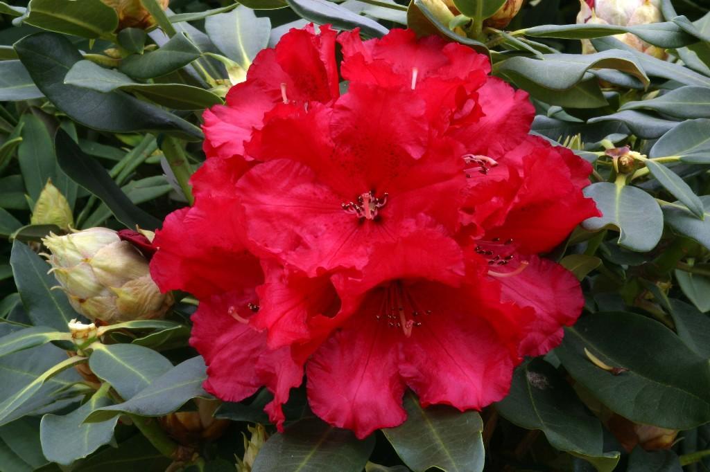 Rhododendron Markeeta's Prize