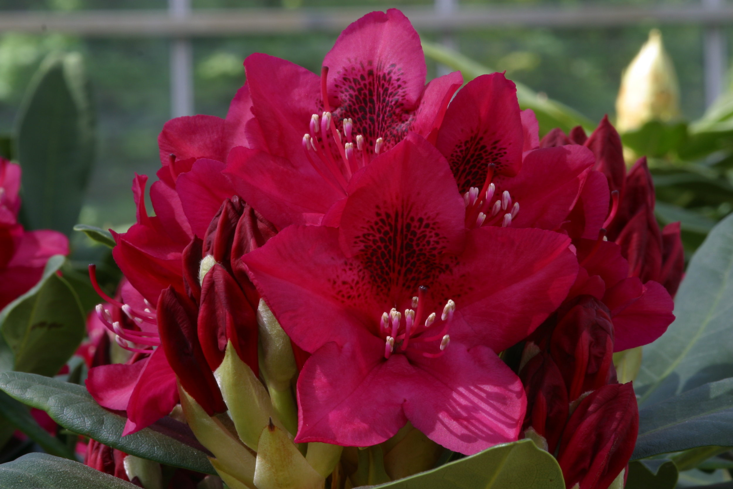 See Rhododendrons