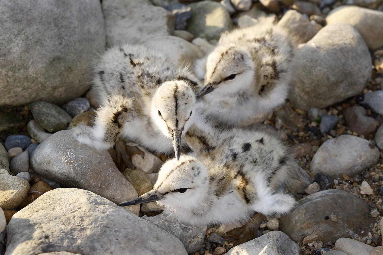 Avocet chicks