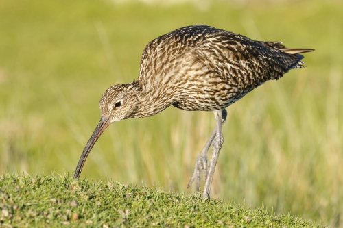 Curlew at Nosterfield NR