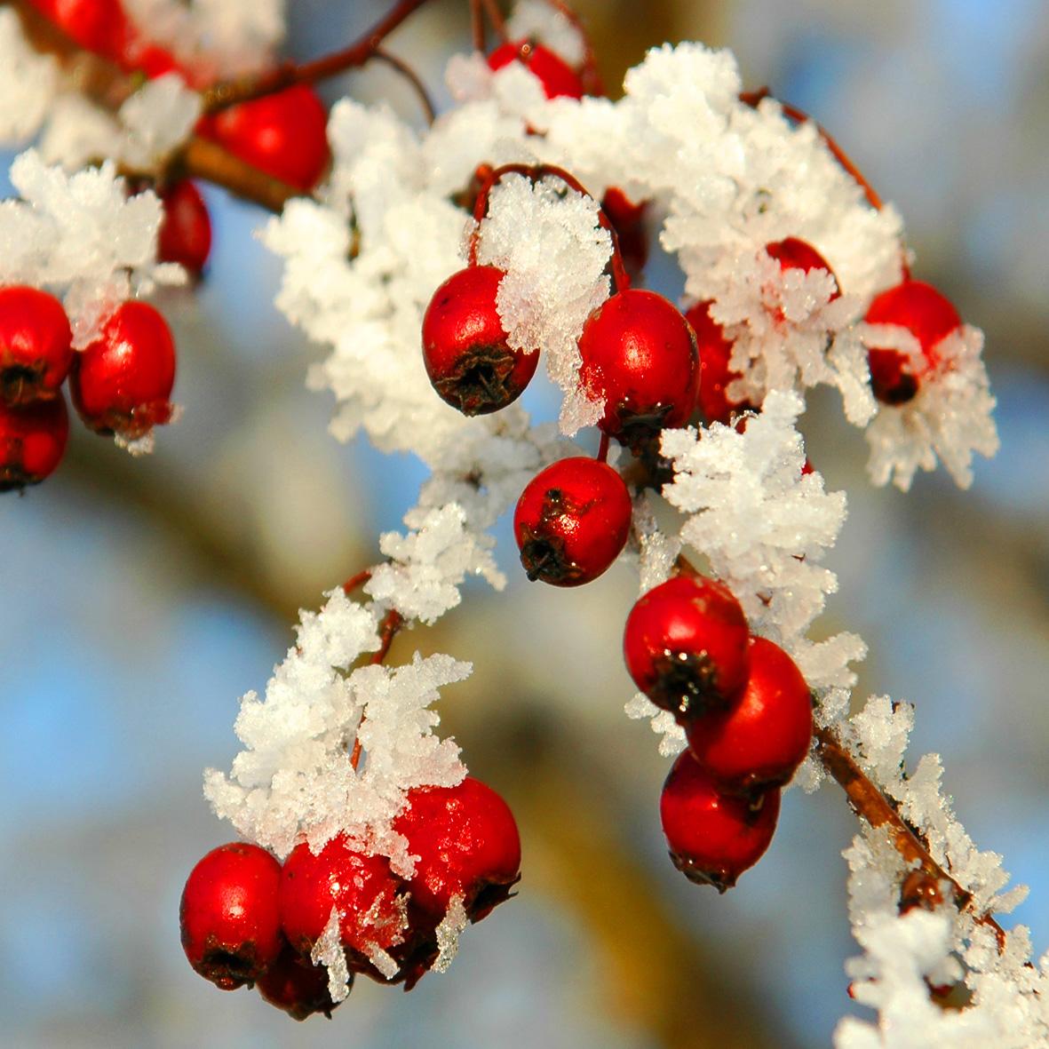 NNR-berries and frost-Steve Worwood-DSC_0079-square crop.jpg