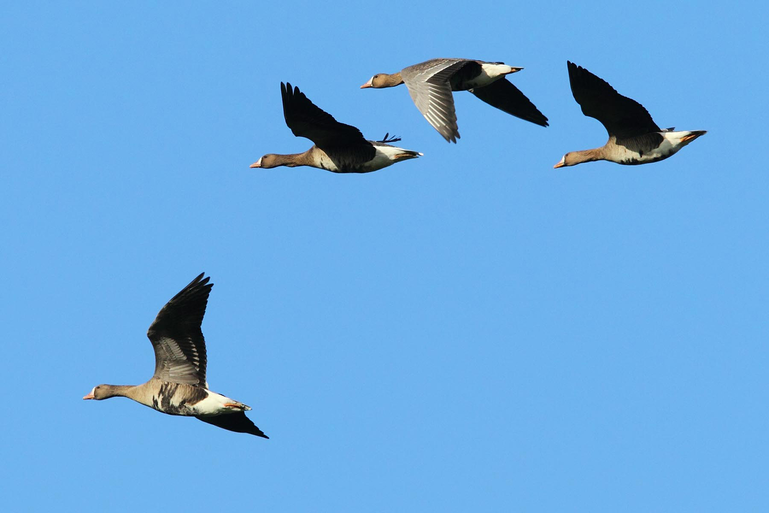 Whitefronts
