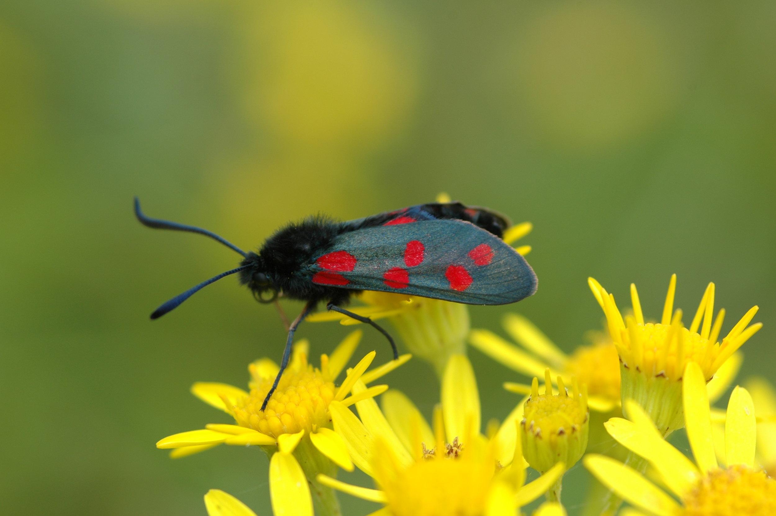 Burnet moth-DSC_0214.JPG