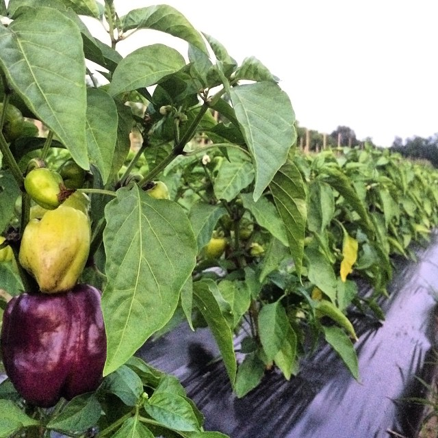 Pepper Plants.jpg
