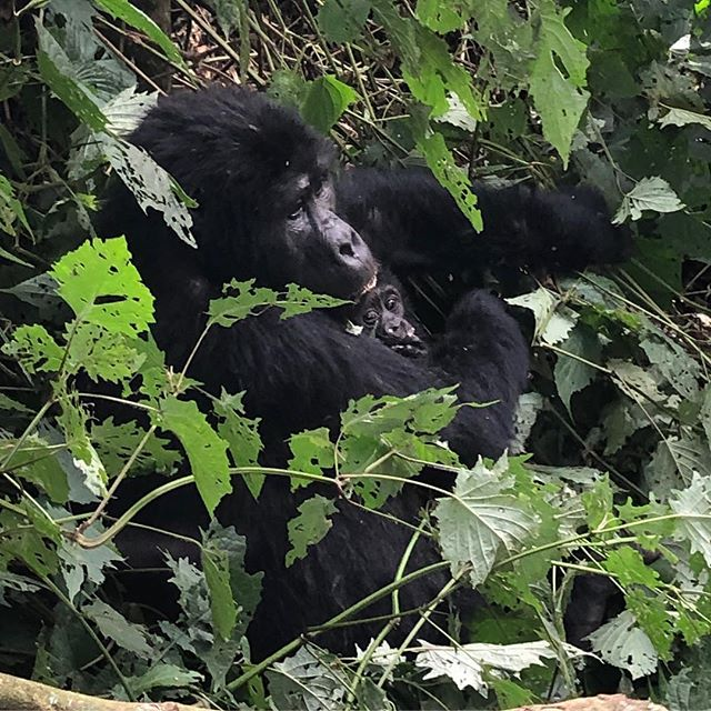 My job has taken me to some truly amazing places, but none quite as spectacular as the Bwindi Impenetrable Forest, where today I tracked a family of 14 mountain gorillas, including a mother with a month old baby and a massive silver back. Worth the trek, and some #bwindi #uganda #africa #gorillas #travel #travelgram #endangeredspecies #worldwildlifeday