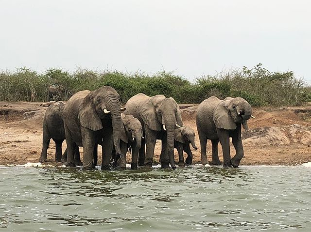 The most ludicrous day of wildlife watching in Uganda. A brief sighting of chimpanzees this morning, followed by an afternoon on the Kazinga Channel, which links Lake George and Lake Edward. Highlights included these elephants drinking, young hippos and an African Fish Eagle taking flight. A bit speechless, but the Nile Special is helping matters 🐘 🦛 🦅 🐒 #uganda #kazingachannel #africa #masonrosegoes #travel #travelgram #wildlife #elephants #hippos #birds