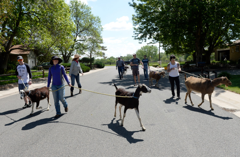 No kidding: Wheat Ridge's landscaping crew is a pack of goats - The lamancha goats from Five Fridges Farm help mow, de-weed the city.As published by The Denver Post. Read the full story here.
