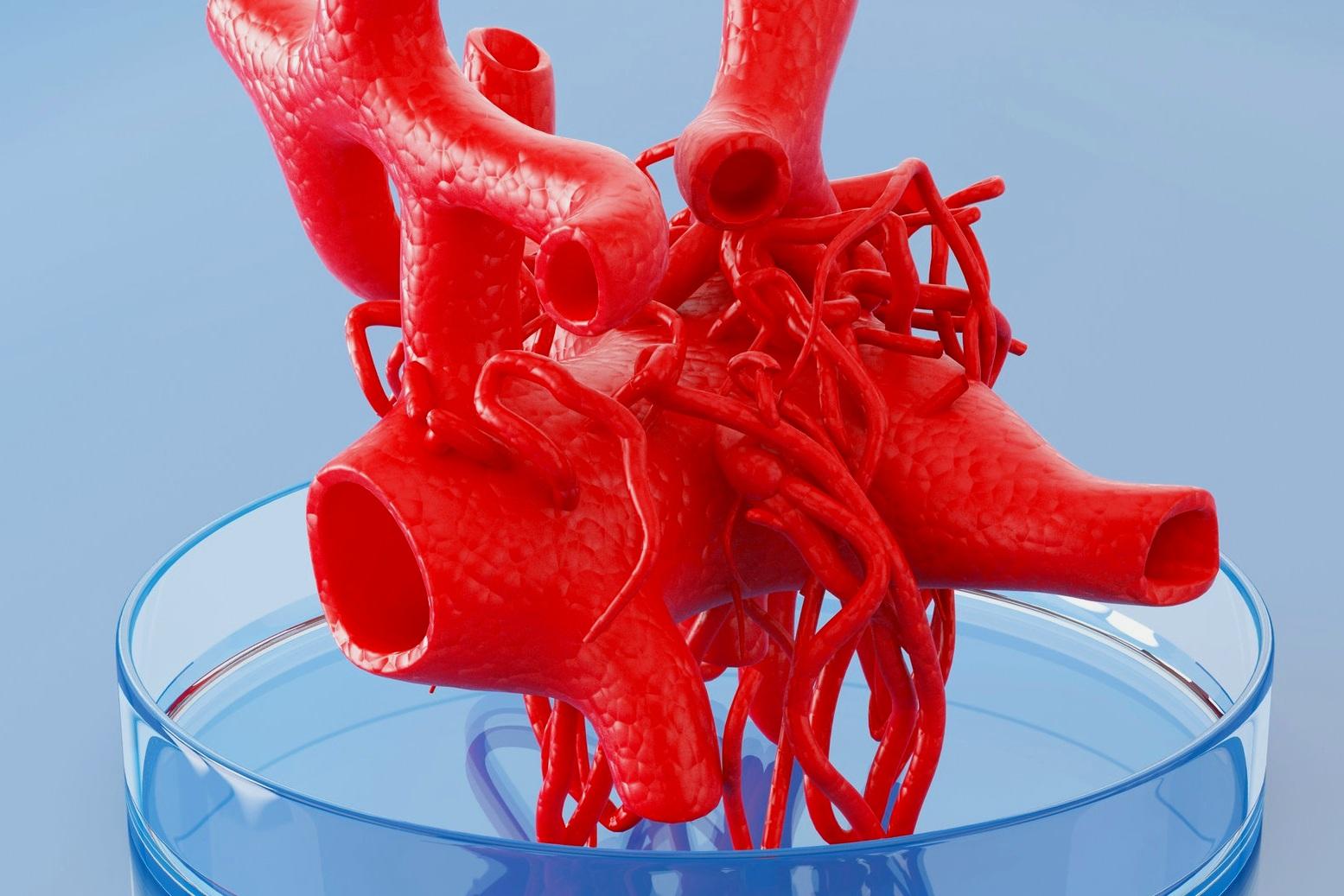 ヒト組織工学 - 幹細胞の混合物は、組織の生物学および機能を再現する小型臓器(オルガノイド )に似た複雑な構造に自己集合することが知られている。 私たちの脈管形成細胞は、灌流を確実にするために構造内に微小血管を形成します。積層造形およびバイオマテリアルにおける進歩は、より大きな構造体に印刷することができる細胞含有インク(バイオインク )の開発を推進している。 Vascugenはこのエキサイティングな新しい分野で当社の技術を活用するためのパートナーシップを確立しています。