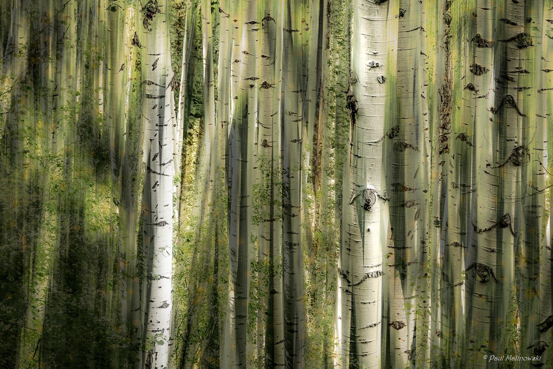 wild aspens