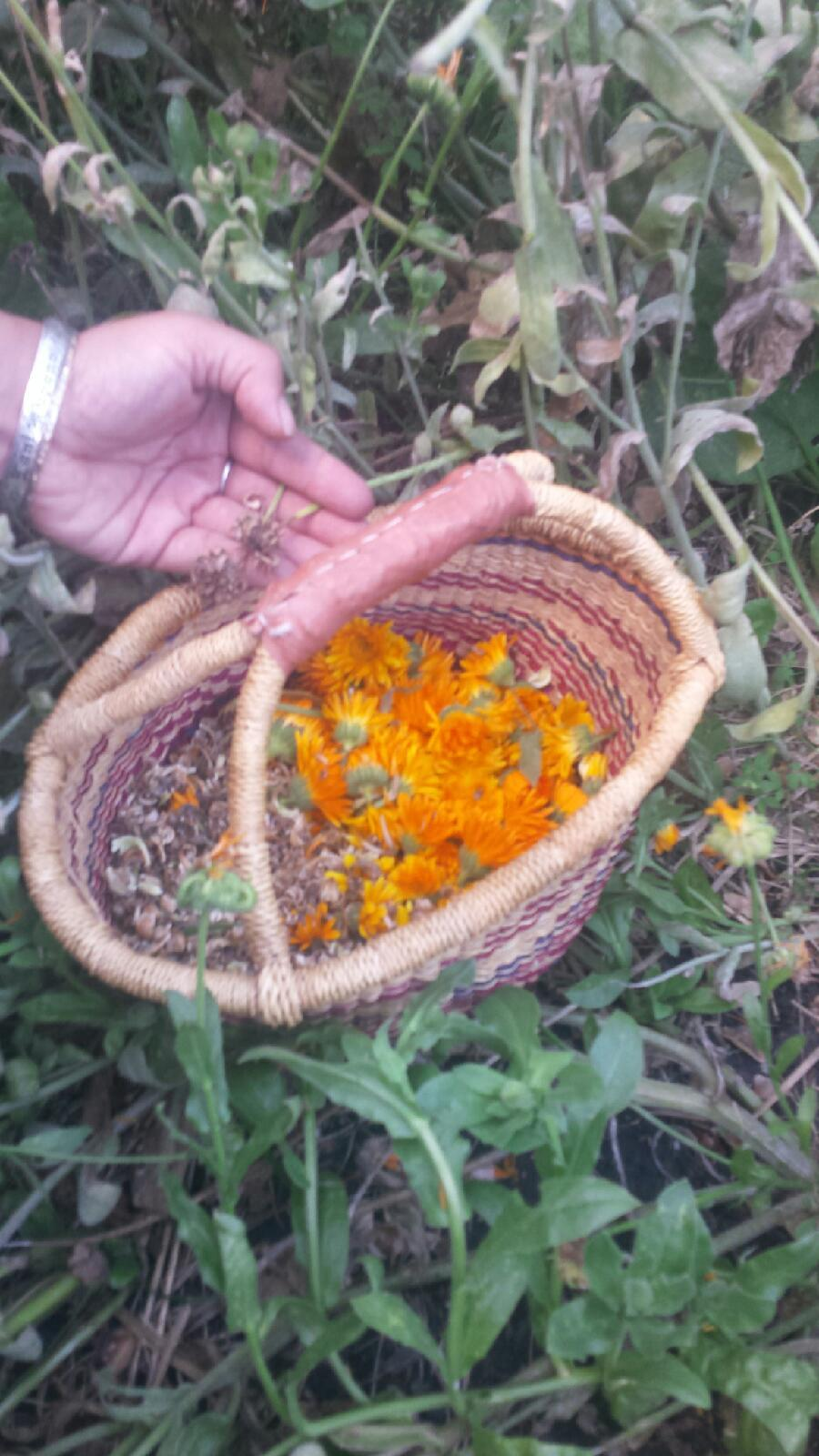 Basket of calendula flowers and seeds